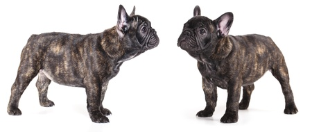 french bulldog puppy , 3 mont Stock Photo - 11412281