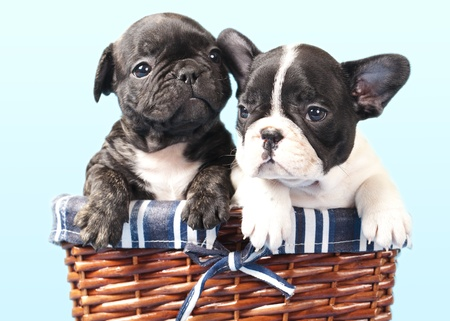 french bulldog puppy photo