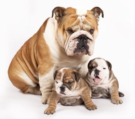 english bulldog: english Bulldog puppy and adult dog  Stock Photo