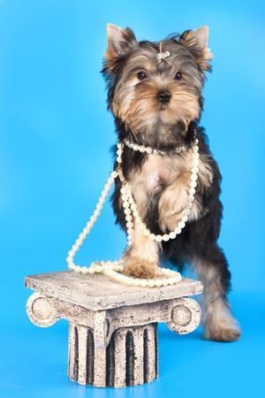 tilt:  breed Yorkshire Terrier
