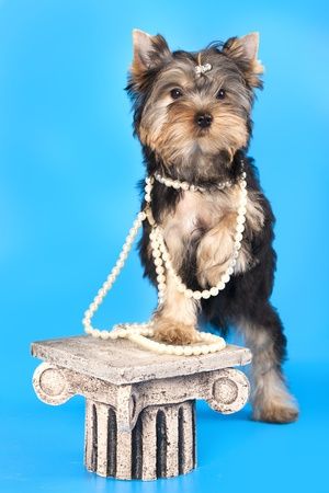 raza Yorkshire Terrier photo