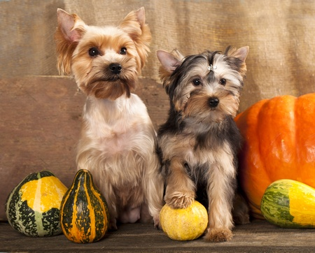 breed Yorkshire Terrier  photo