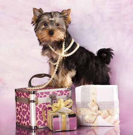 breed Yorkshire Terrier and gifts photo