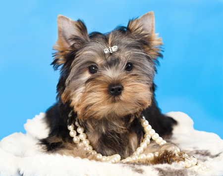 raza Yorkshire Terrier y regalos photo