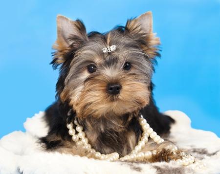 yorky: raza Yorkshire Terrier y regalos Foto de archivo