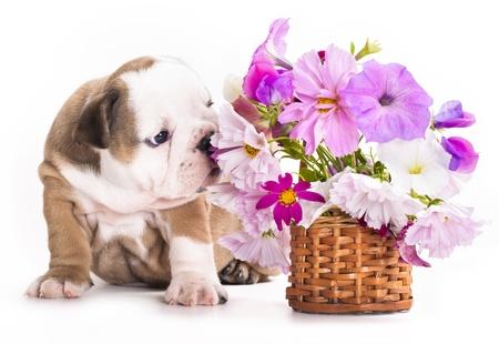 英語ブルドッグ子犬 写真素材 - 11412225