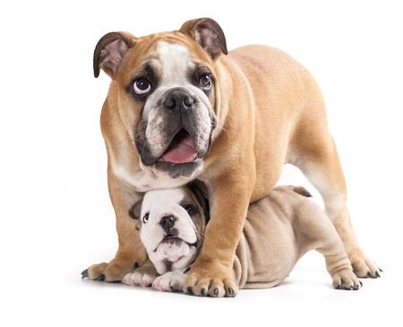 英語ブルドッグ子犬および大人犬 写真素材 - 11412228