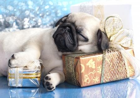dog christmas: sleeping puppy pug and gifts christmas