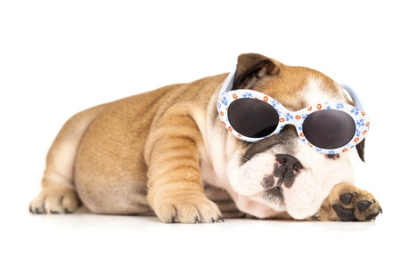 bulldog in sunglasses photo