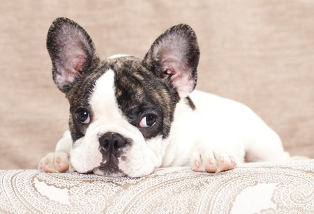 french bulldog puppy , 3 months  Stock Photo - 11412244