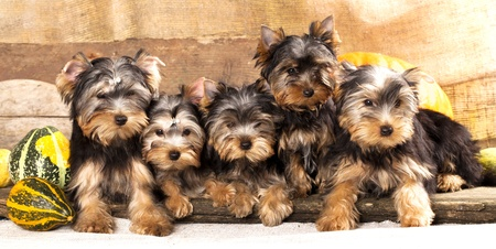 puppies: puppies of breed Yorkshire Terrier