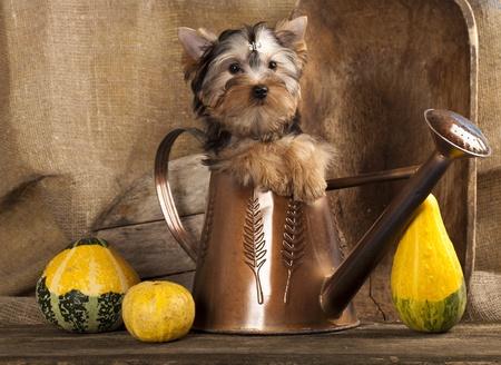yorky: cachorros de raza Yorkshire Terrier Foto de archivo
