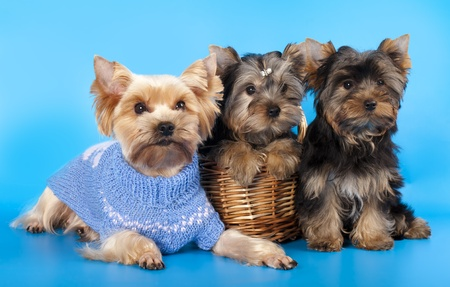 yorky: puppies of breed Yorkshire Terrier