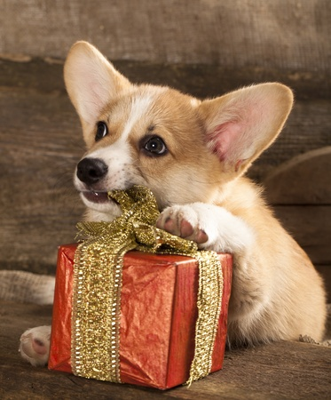 Welsh Corgi Dog Breed  photo