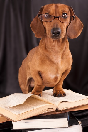 stitting: trained dogs dachshund in glasses with books  Stock Photo