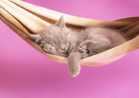 cat sleeping: sleeping kitten in a hammock  Stock Photo