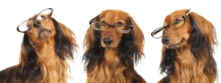 眼鏡をかけているロングヘアのダックスフント