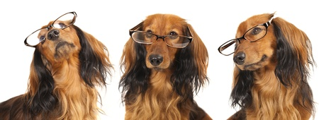 Longhair dachshund wearing glasses photo