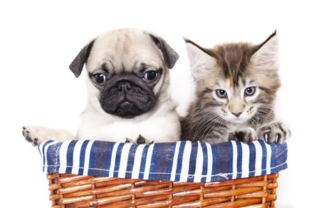 black pug: kitten Maine Coon and pug puppy in basket