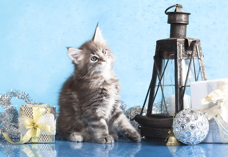 maine coon kitten and  gift new year  photo