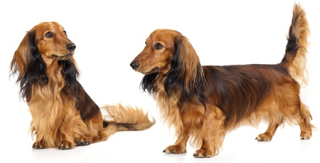 long haired miniature dachshund  photo