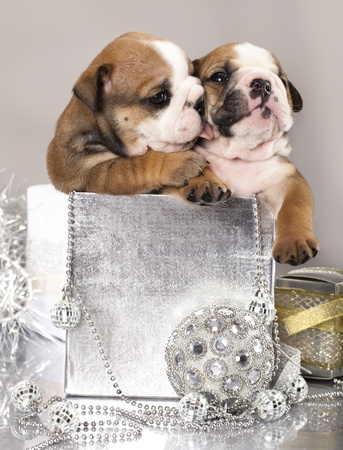 english Bulldog puppy and gifts christmas  photo