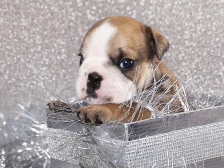 english Bulldog puppy and gifts christmas Stock Photo - 11452305