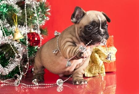 フレンチ ブルドッグ子犬およびクリスマスのプレゼント