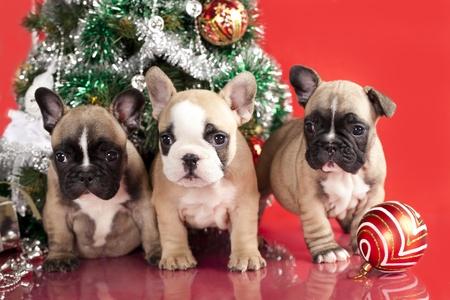 フレンチ ブルドッグ子犬およびクリスマスのプレゼント 写真素材 - 11452300