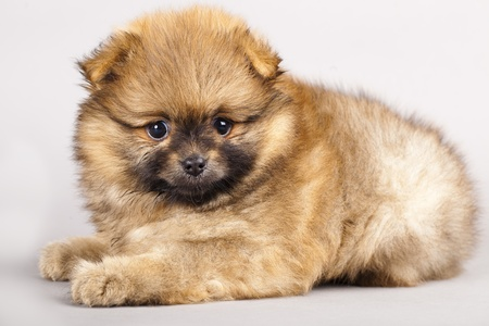 Puppy of breed a Pomeranian spitz-dog in studio photo