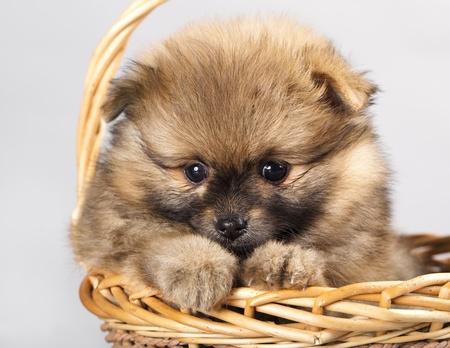 pomeranian: spitz puppy Stock Photo