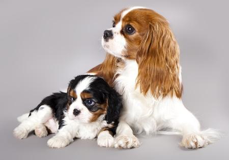 キャバリア ・ キング ・ チャールズ ・ スパニエルの子犬 写真素材