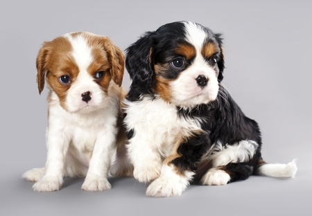 Litter of Cavalier King Charles spaniel puppies on gray background  photo