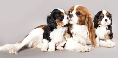 Litter of Cavalier King Charles spaniel monter and puppy photo