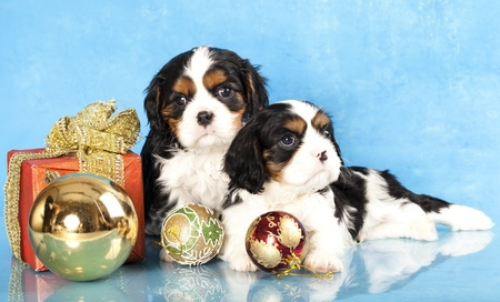 Cavalier King Charles spaniel puppies and gifts christmas , ball  photo
