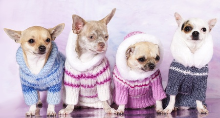 chihuahua  dressed photo