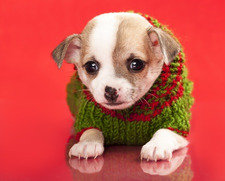 miniature puppy chihuahua  photo