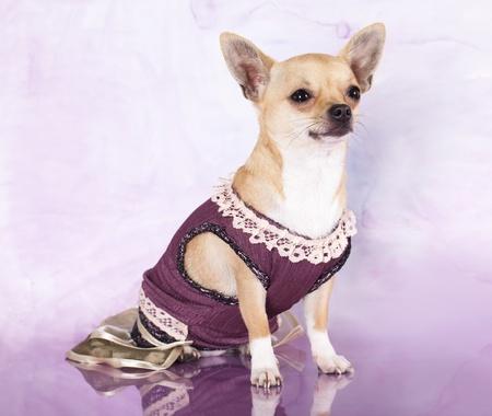 portrait of a cute purebred puppy chihuahua  photo