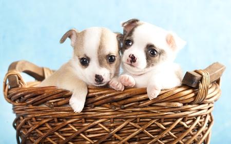 animalitos tiernos: Chihuahua cachorro hua Foto de archivo