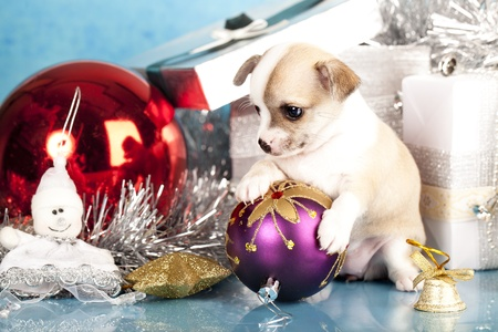 puppy and kitten: Chihuahua hua puppy holding in the paws of a New Year Stock Photo