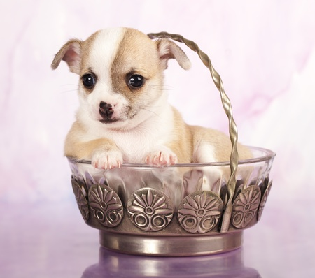 Chihuahua hua puppy photo