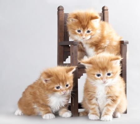 子猫メインクーン 写真素材
