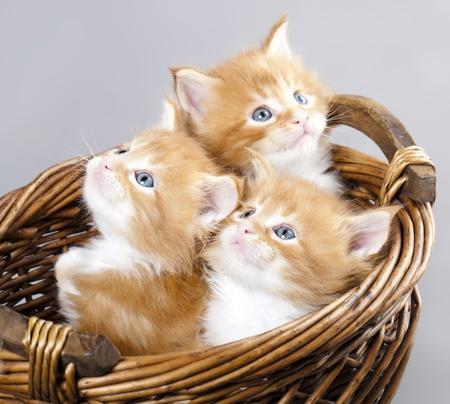 kittens: kitten Maine Coon