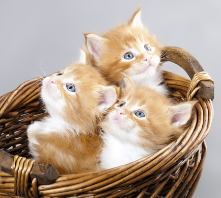 kotek: kociak Maine Coon Zdjęcie Seryjne