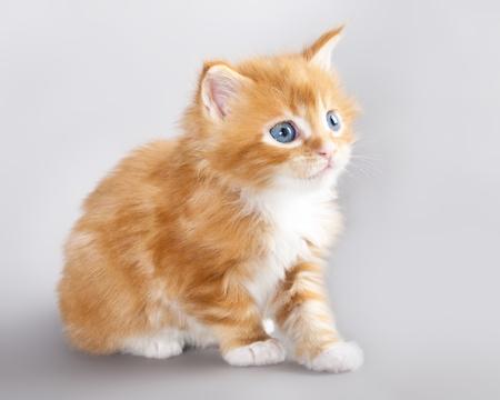 kitten Maine Coon  photo