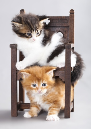 kitten Maine Coon photo