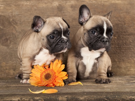 cute love: couple in love French bulldogs, puppy