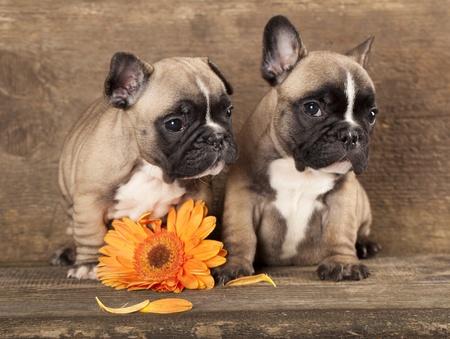 perro boxer: pareja en el amor o Bulldog francés, cachorro Foto de archivo