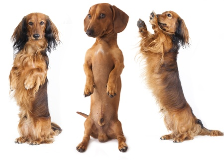 cur: dachshund dog is the vertical bar on its hind legs