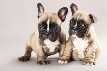 perro boxer: pareja en el amor o Bulldog franc�s, cachorro Foto de archivo